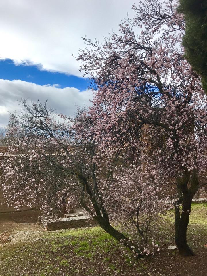 アルハンブラ宮殿の桜