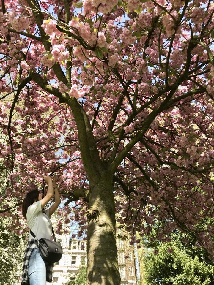 ハイドパークの桜